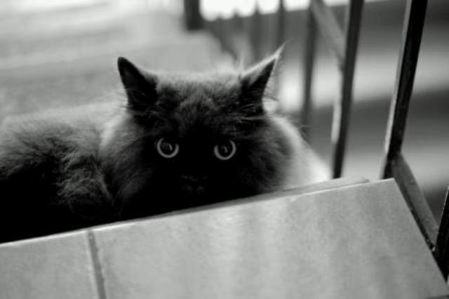 black white cat